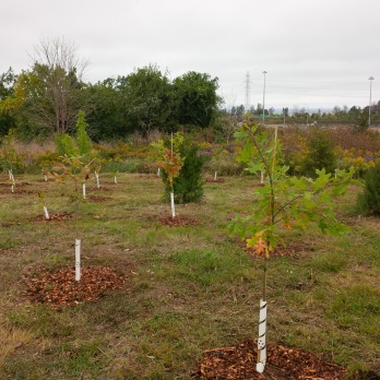 400 native trees planted at the Red Hill Valley Trails (just off of Brampton St)