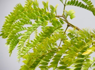 Honey_Locust02
