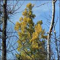 Photo: Daniel Tigner, Canadian Forest Tree Essences