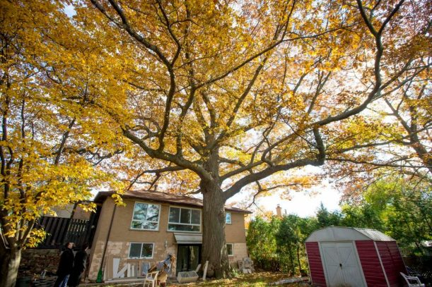 red_oak.jpg.size-custom-crop.1086x0